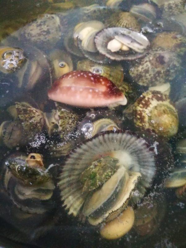 これらの貝を沸騰した塩水に放り込みます